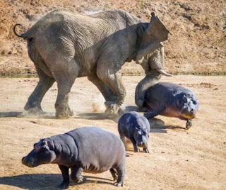 Hippo family attacked by Angry Elephant