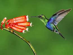 Hummingbird Birds