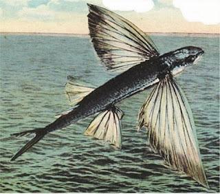 ikan terbang galesong