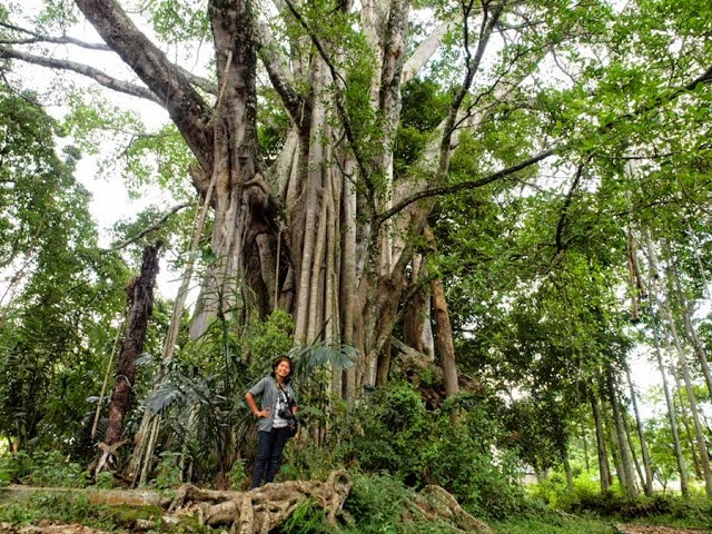 """Pohon Beringin Raksasa yang diberi nama """"Hariara Na Bolon"""""""