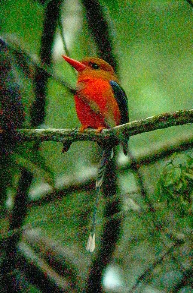 brown headed paradise kingfisher at varirata a superb bird somewhat