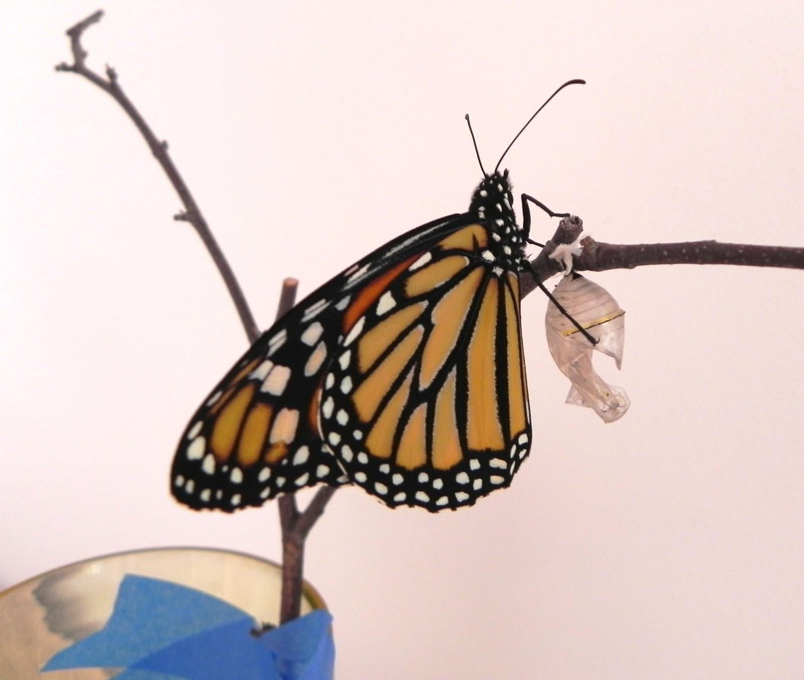 Last Monarch Of Season >> Tywkiwdbi Tai Wiki Widbee The Last Monarch Of The Year