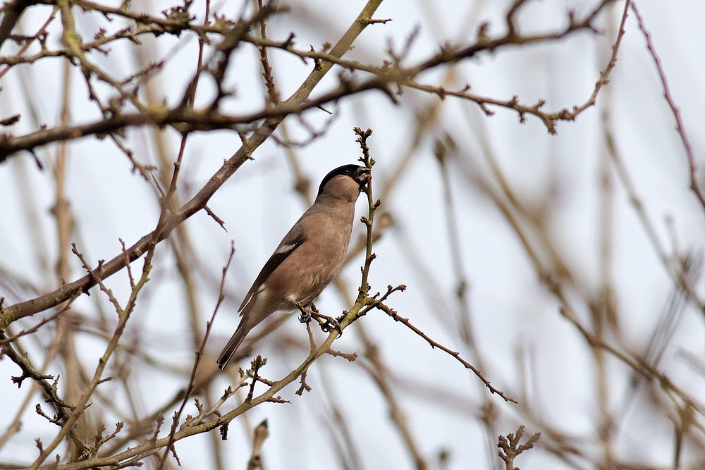Bullfinch (female) - Manor Farm, Milton Keynes