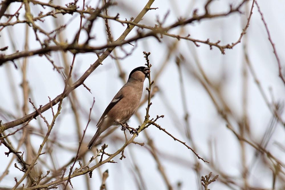 Bullfinch (female) - Manor Farm, Milton Keynes