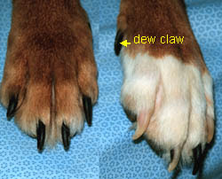 Dogs Pain Pink Paws Turning Black
