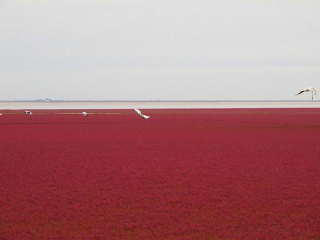 panjin red beach 92 من أجمل شواطئ العالم '' الشاطئ الأحمر '' في مدينة بانجين بالصين
