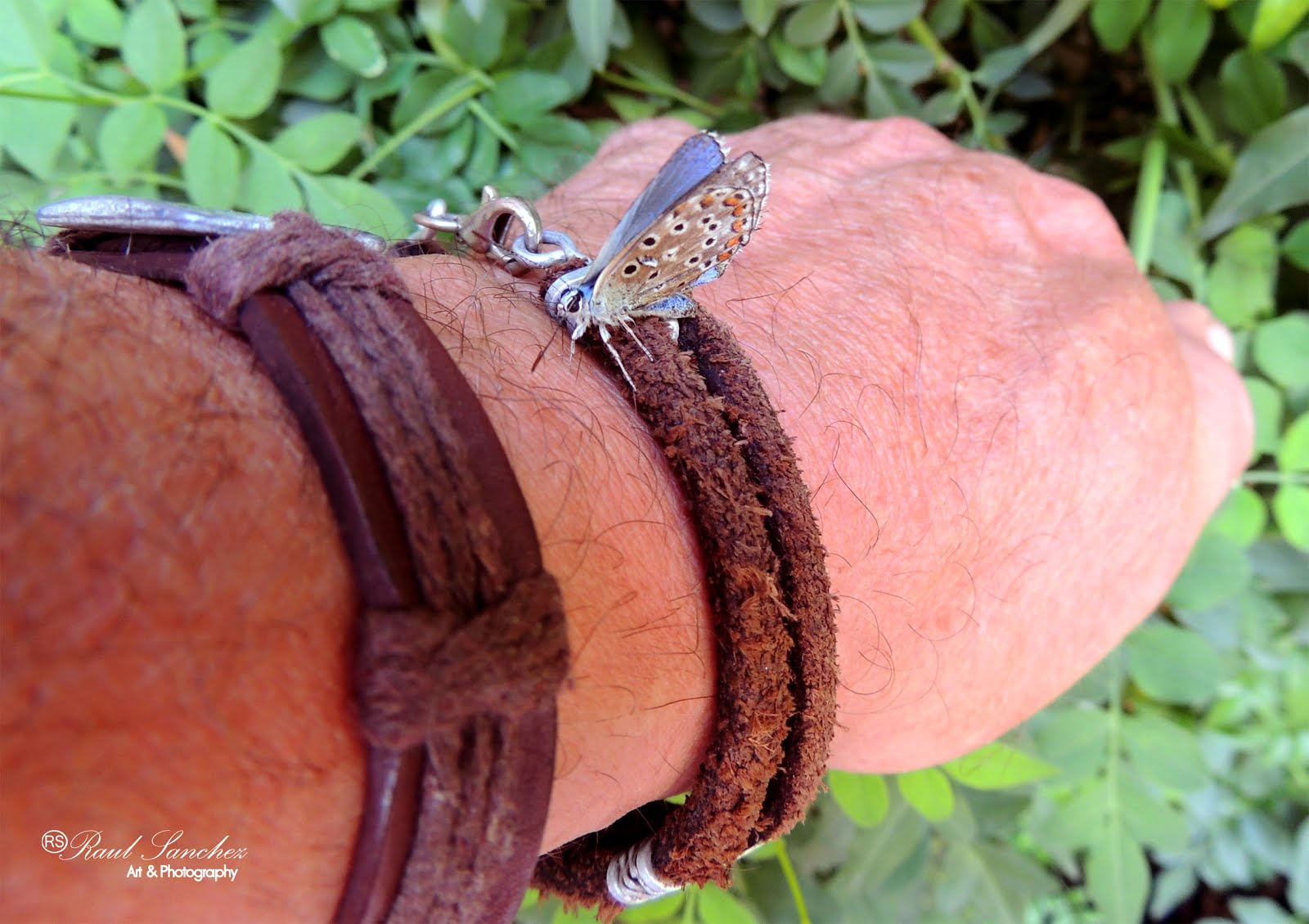 Mariposa (Pollyommatus bellargus)