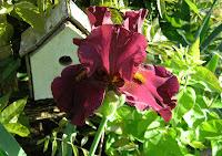 Bkack Iris