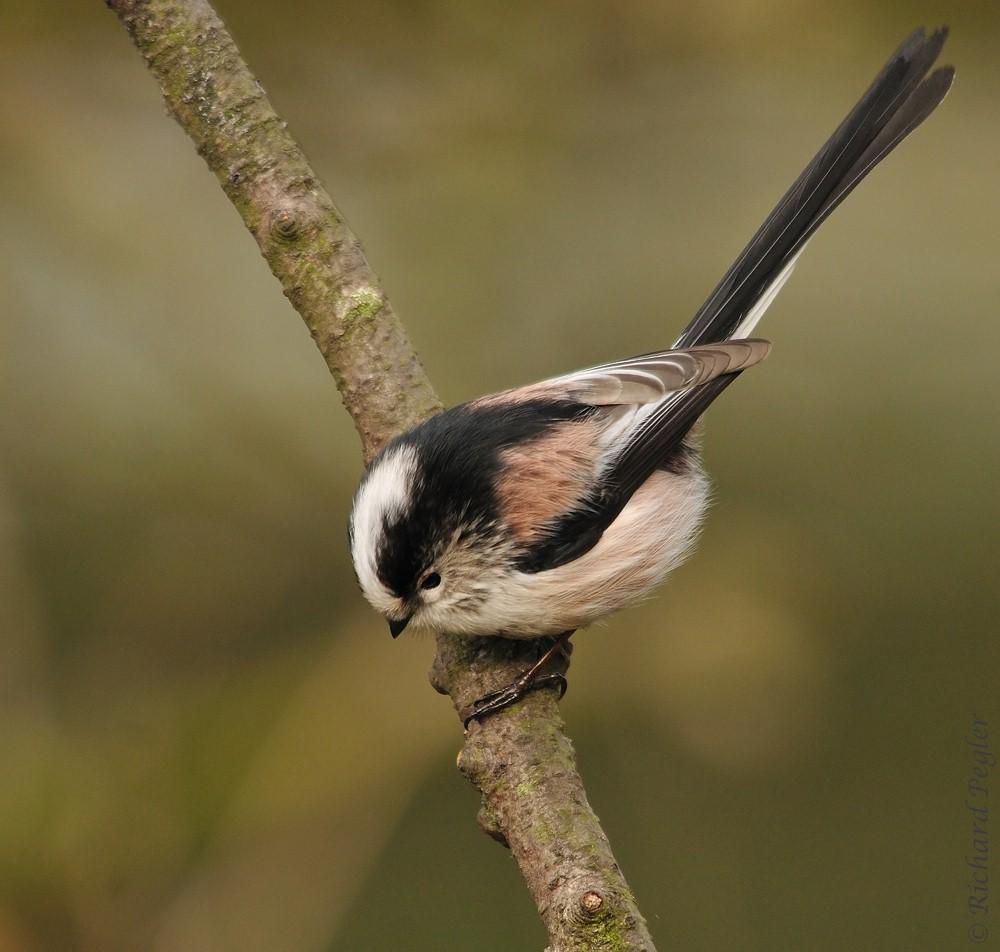 Pegler Birding: Back to Cannock Chase - on 17th January, 2012