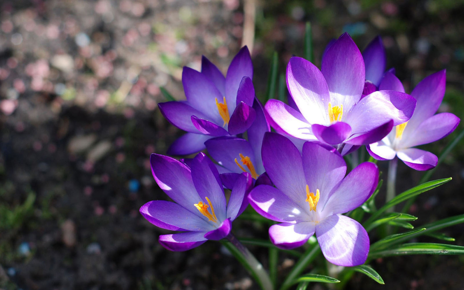 Crocus Flowers Wallpapers, PurpleCrocus Flowers Desktop Wallpapers