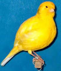 Burung Kenari - Solusi Penangkaran Burung Kenari -  Kode Ring Kenari Import Pada Negara Canada