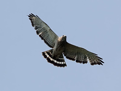 broad-winged hawk in flight