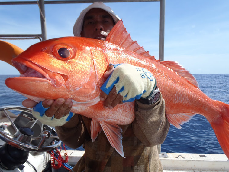 IKAN RUBY SNAPPER ADALAH MUTIARA LAUT DALAM