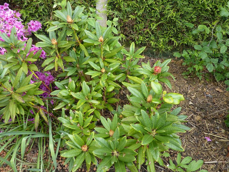 Le blog de toinette rhododendron - Rhododendron ne fleurit pas ...
