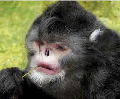 mono-que-estornuda-nuevo-primate