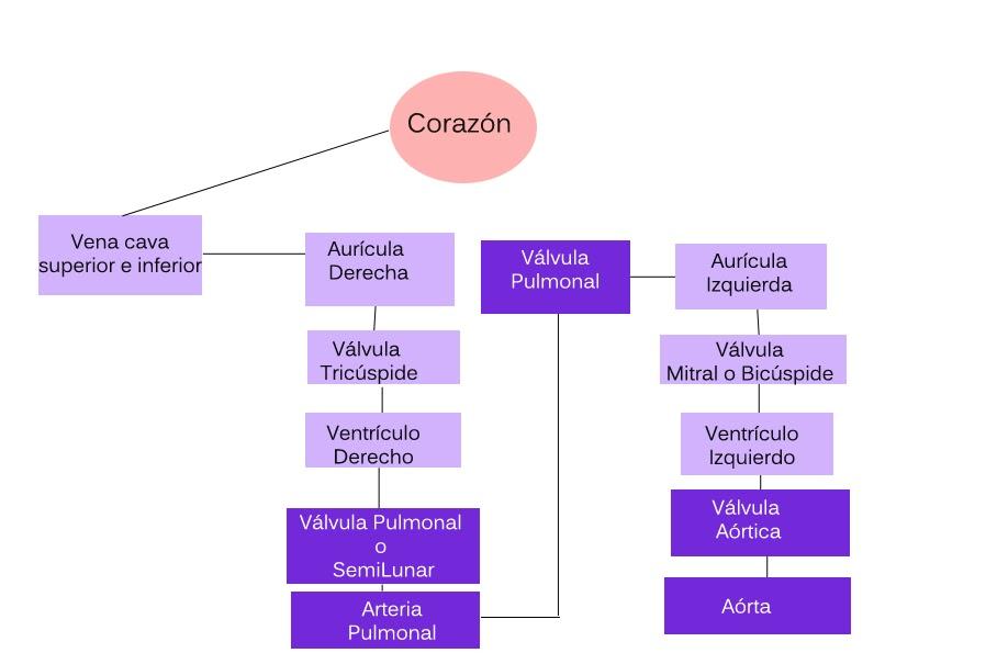 Excepcional Diagrama De Marcado De Corazón Molde - Anatomía de Las ...