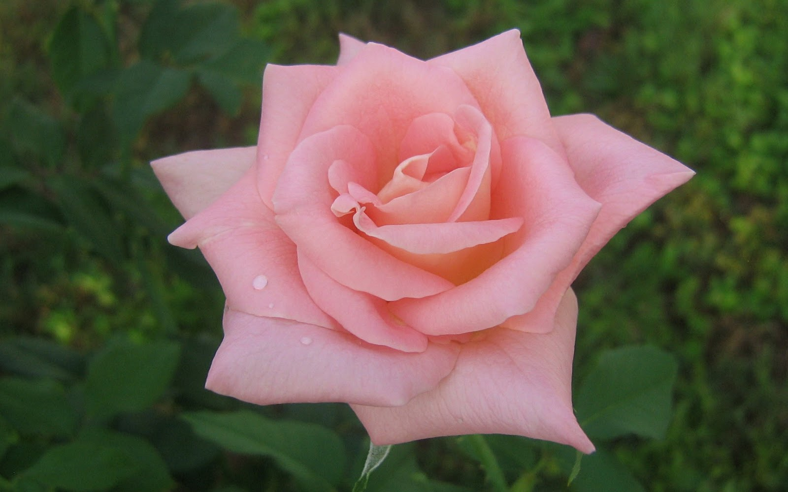 http://4.bp.blogspot.com/-npt70seOe2s/TvhgeQLJsdI/AAAAAAAAA7w/8Dp9-PpPLLA/s1600/windows-7-rose-wallpaper.jpg
