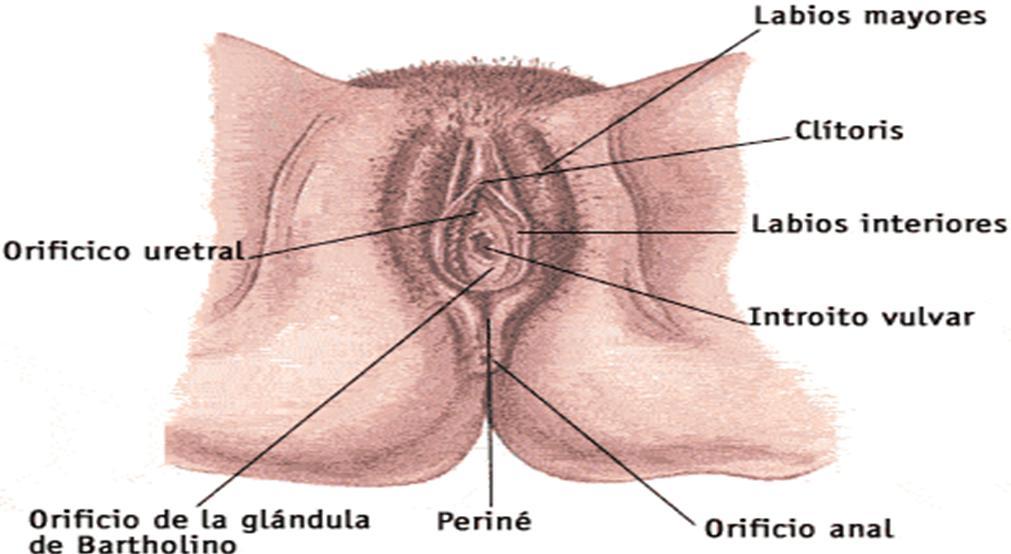 Dibujo del Aparato Reproductor femenino (mujer) indicando sus partes