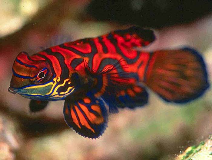 Life under the blue water mandarin the most beautiful for Red saltwater fish
