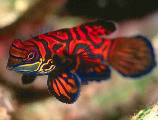 Red Mandarin fish