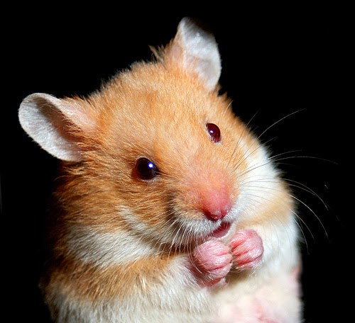 Gambar Wallpaper Keren Kumpulan Gambar Hamster Lucu