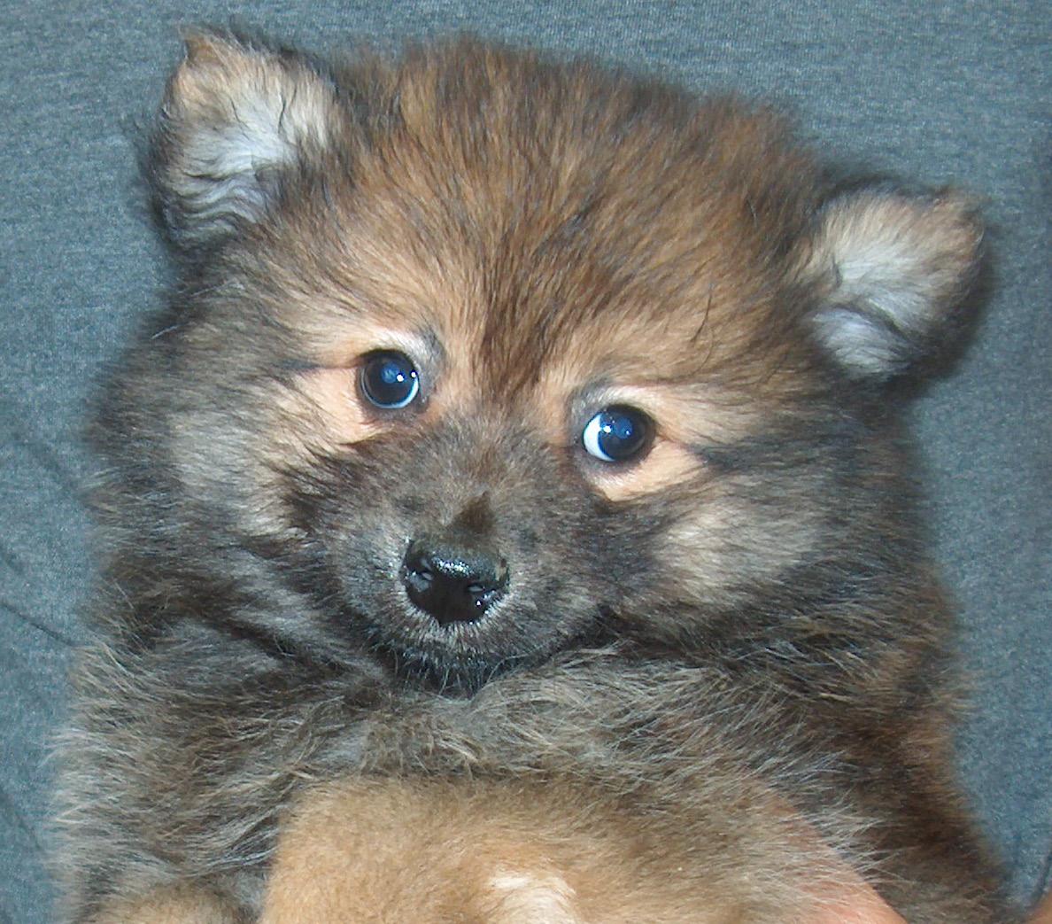 Husky Border Collie Mix Puppies Cute Dogs: Pomeranian ...