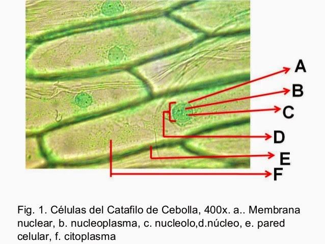 ANABIOLOGICA: Clase Práctica: Observación de células al microscopio ...