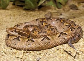 Malayan Pit Viper