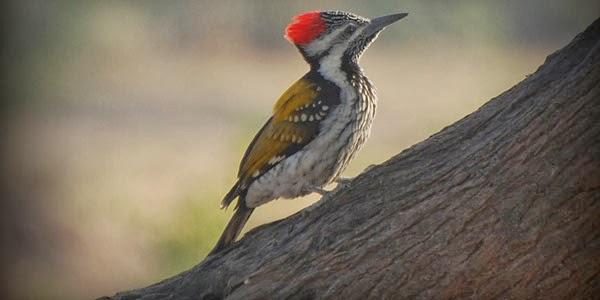 Pelatuk Bawang, Si Burung Mistis