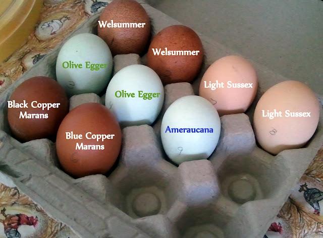 Blue Laced Wyandotte Hen Fresh Eggs Daily