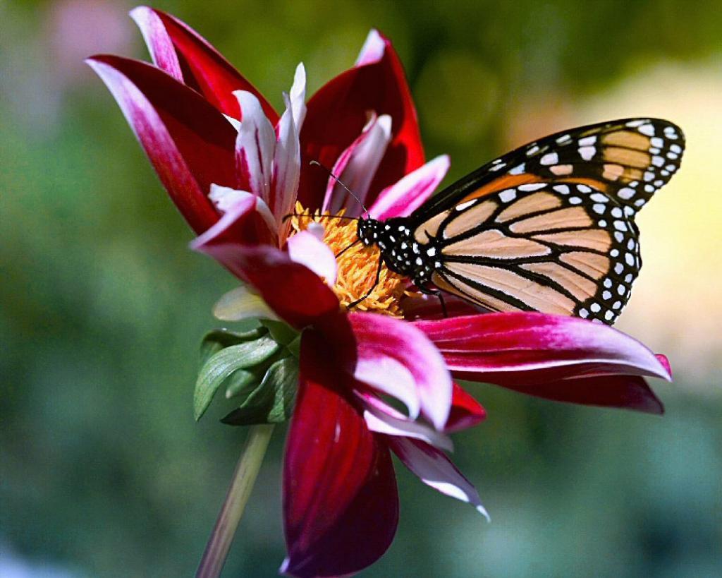 Pollinisation des fleurs par les insectes ou l 39 art de la - Papillon fleur ...