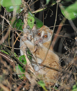 Asian Slow Loris (Nycticebus bengalensis)