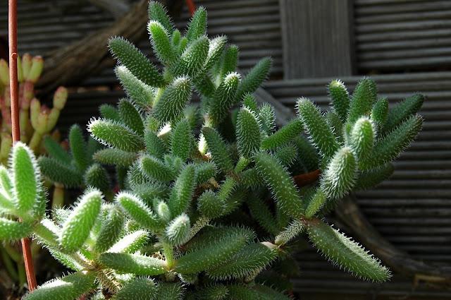 Floraciones en m laga y m s septiembre 2011 - Plantas crasas colgantes ...