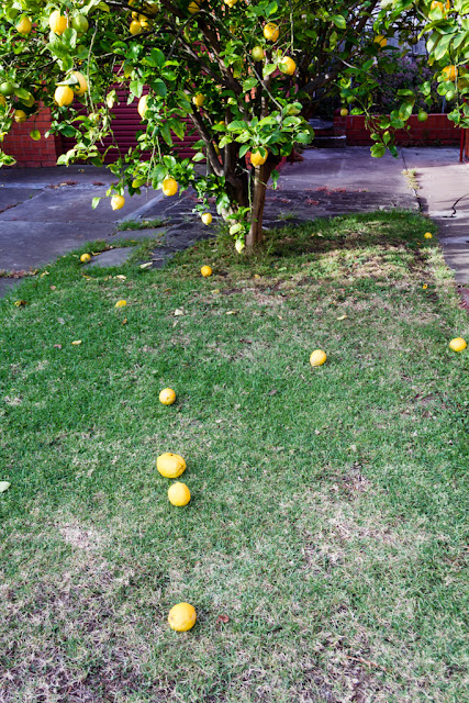 lemons on the ground under lemon tree