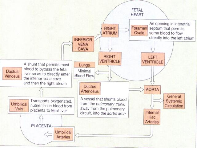 Srna Daily Review  Fetal Physiology