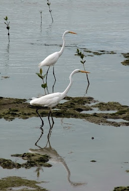 Eastern Great Egret,  Ardea modesta