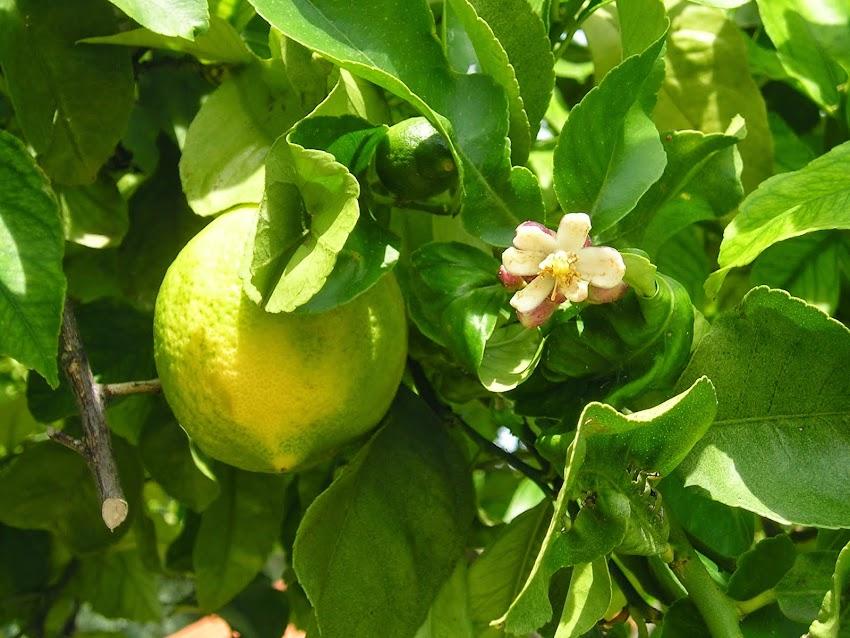 Citron et fleur
