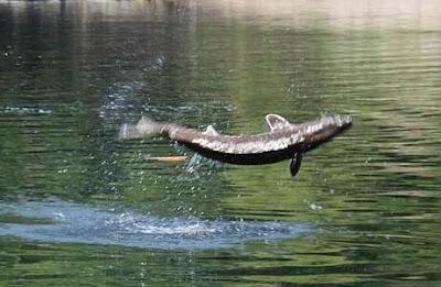 ikan melompat atas air bila terkena pancing