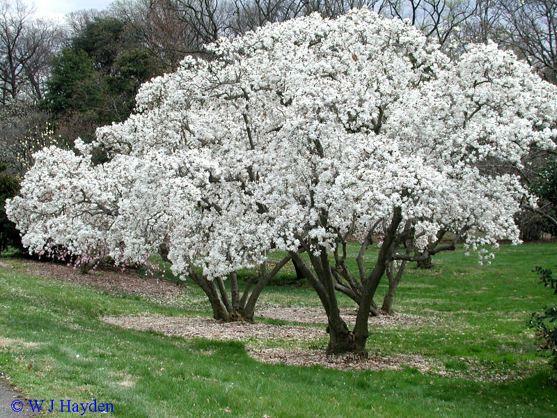 Magn lia moura pedagoga a bela magn lia - Cuidados del magnolio ...