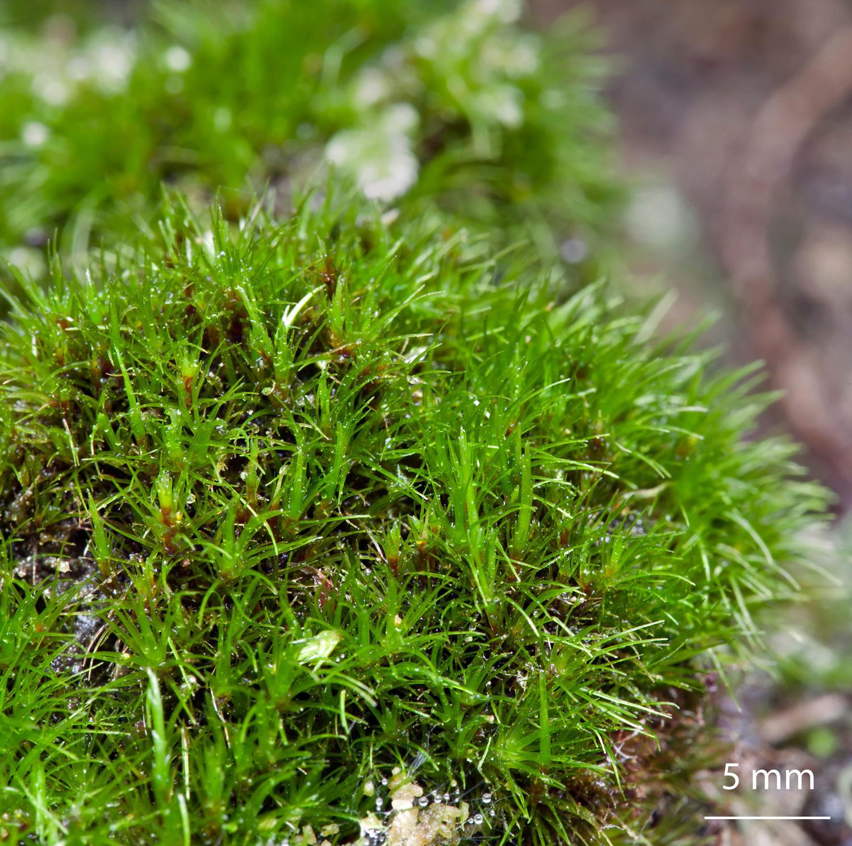 Musgo Campylopus flexuosus de la familia Leucobryaceae