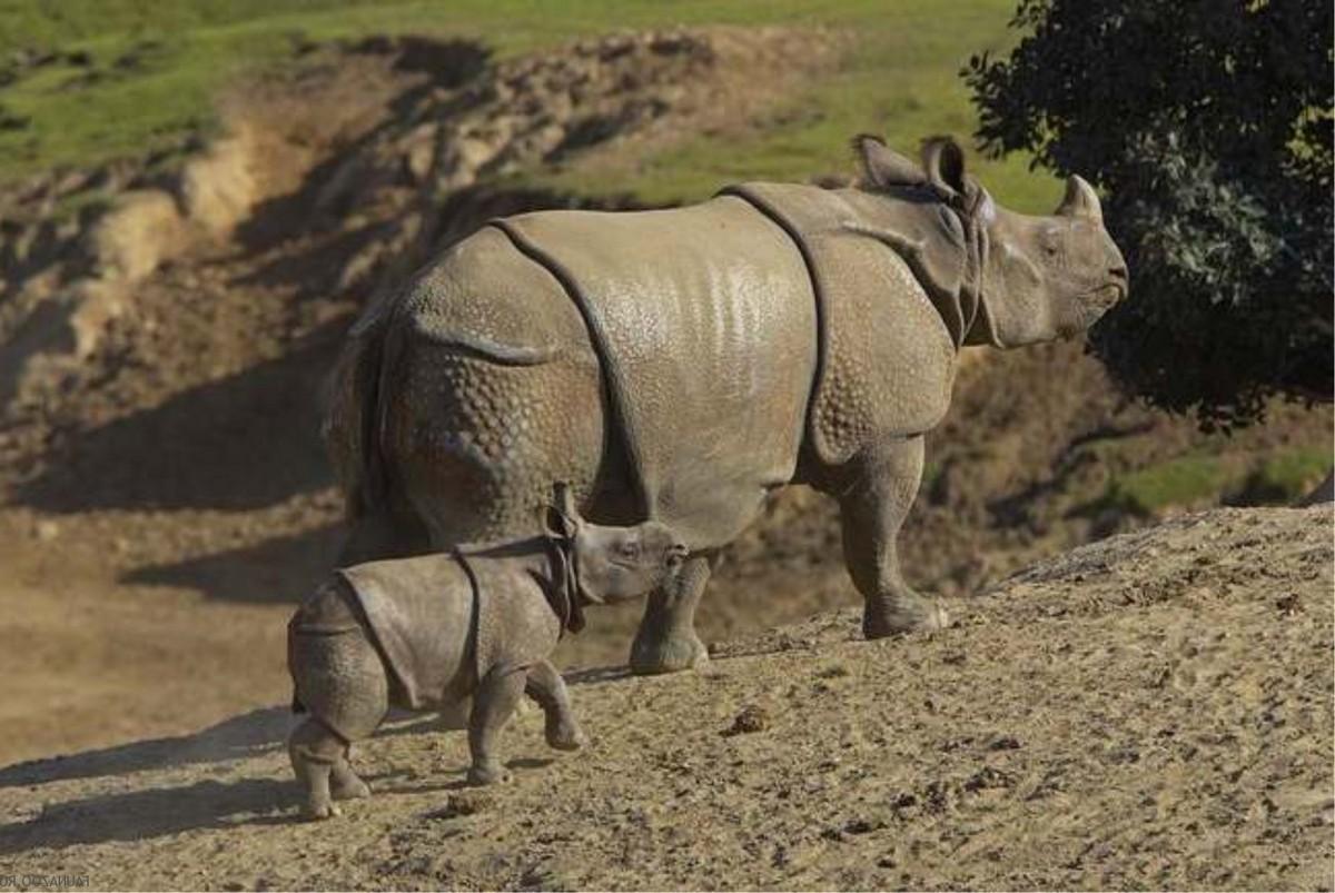Endangered Animals of the World : Javan Rhino