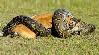 Lion vs Python HD | Must see!