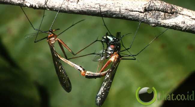 Scorpionflies
