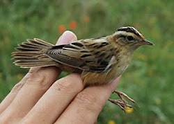 Aquatic Warbler