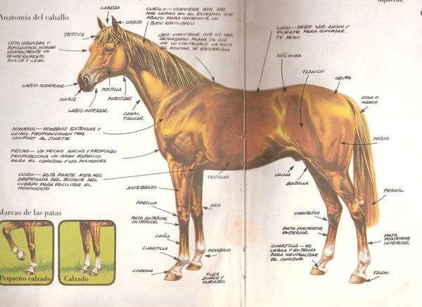 Todo Caballos y ponis: Ampliación de la anatomía del caballo