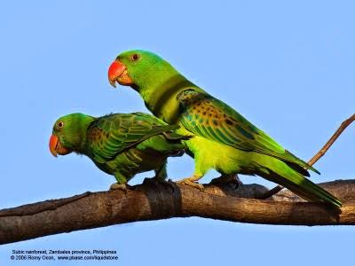 Gambar Cara Merawat Burung Betet