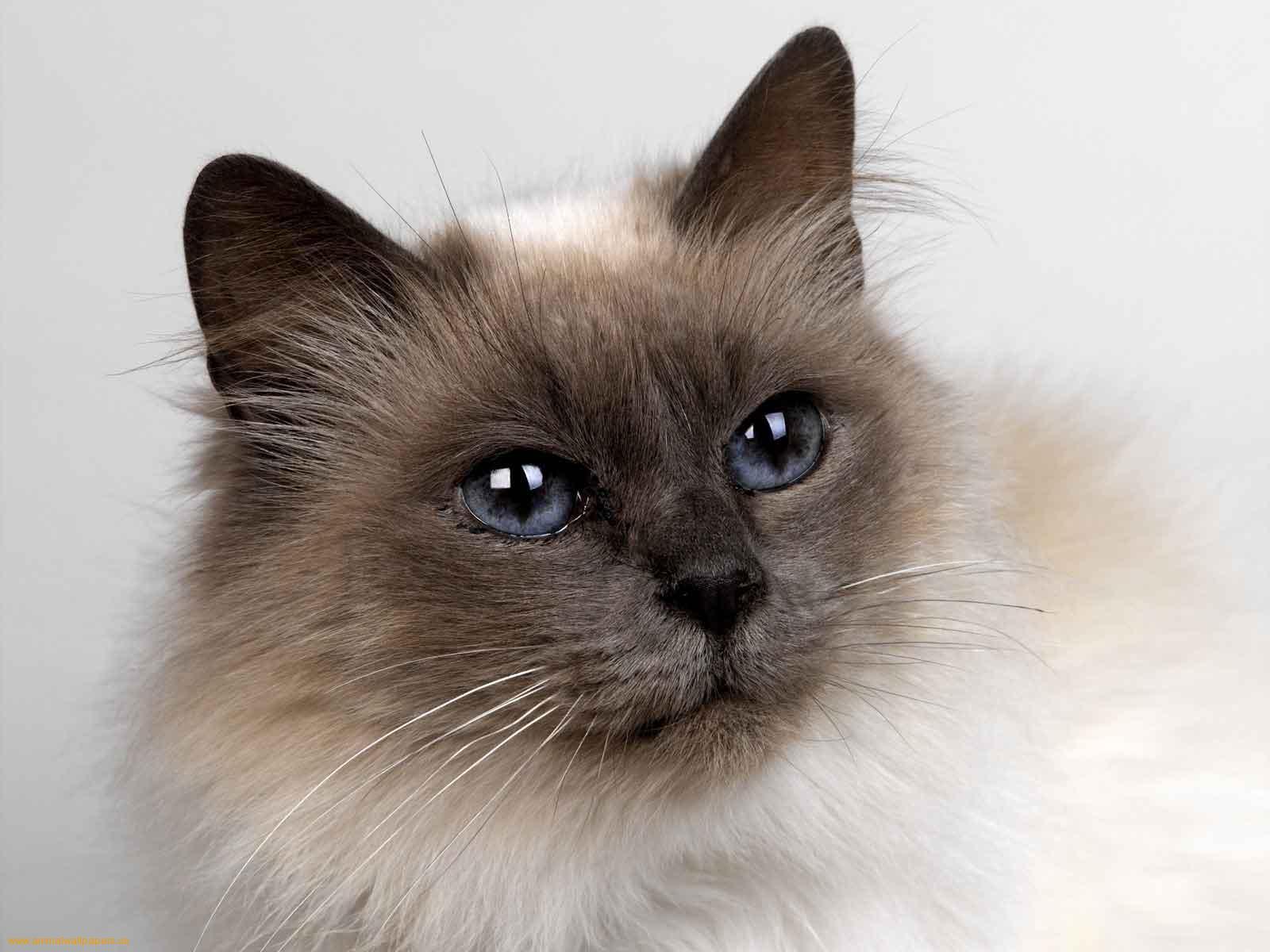 бирманская кошка обои на рабочий стол № 539370  скачать