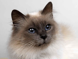 Siamese Cat Picture