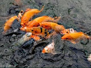 umpan jitu ikan mas di kolam pancing