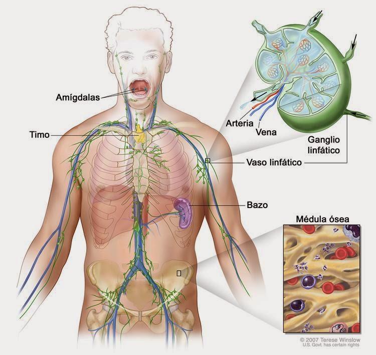 Fisiologia Animal: Sistema Linfatico